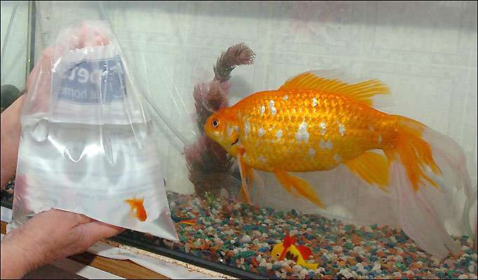 https://aquaforum.nl/attachments/_0_7_biggest_goldfish-jpg.161884/