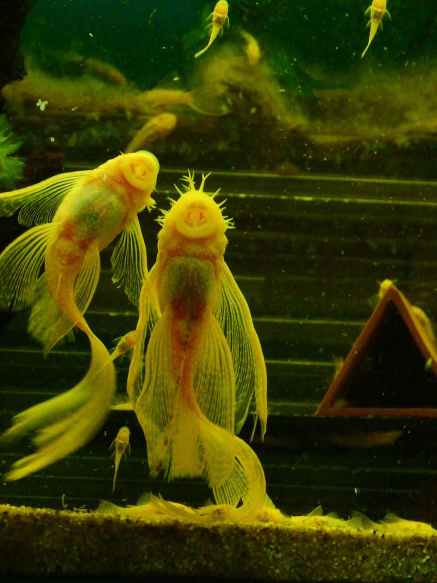 albino-ancistrus-longfin-kweekkoppel-2016.jpg