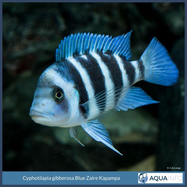 Cyphotilapia gibberosa Blue Zaire Kapampa.jpg