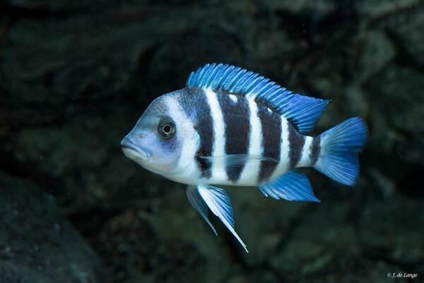 Cyphotilapia-gibberosa-Blue-Zaire-Kapampa002.jpg
