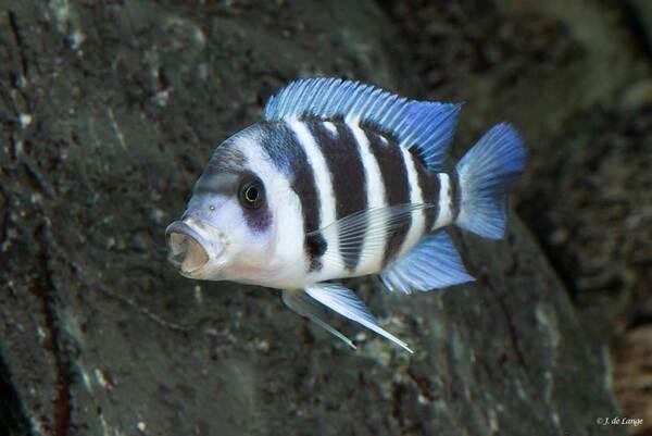 Cyphotilapia-gibberosa-Blue-Zaire-Kapampa003.jpg