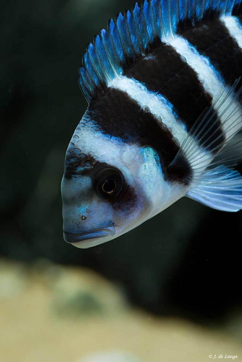 Cyphotiliapia-gibberosa-Blue-Zaire-Kapampa001.jpg