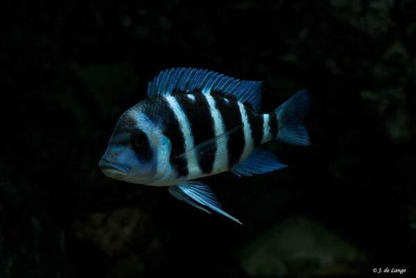 Cyphotiliapia-gibberosa-Blue-Zaire-Kapampa003.jpg