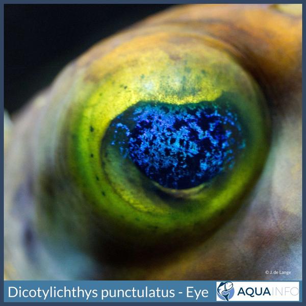 Dicotylichthys punctulatus - Eye.jpg