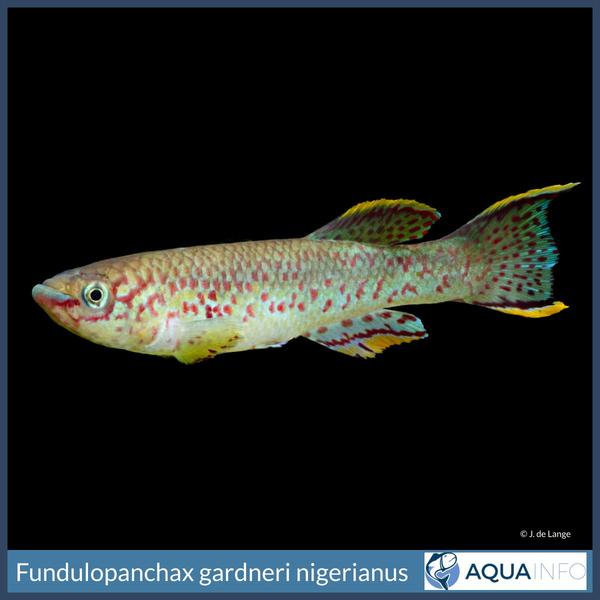 Fundulopanchax gardneri nigerianus Insta.jpg