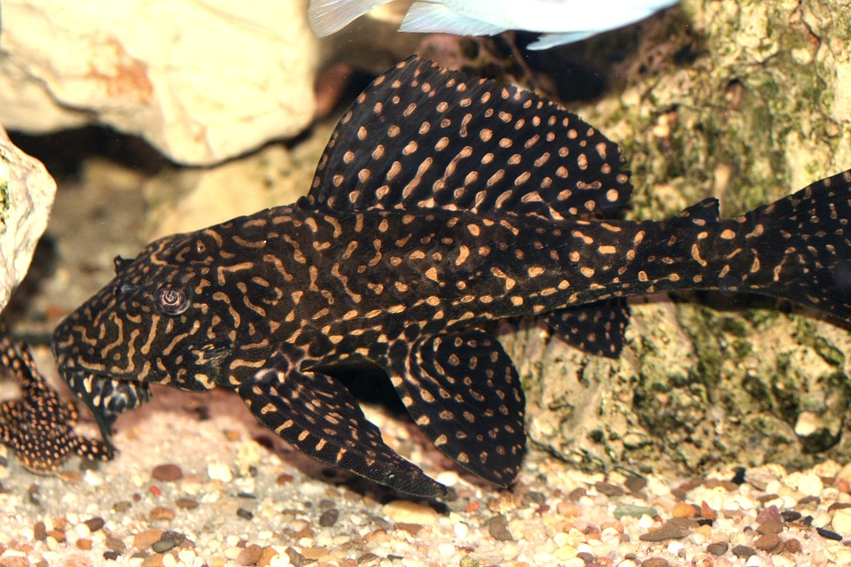 glyptoperichthys-joselimaianus-1598398_960_720.jpg