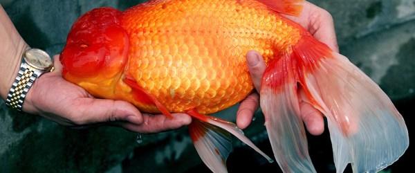 goudvismannetje.jpg