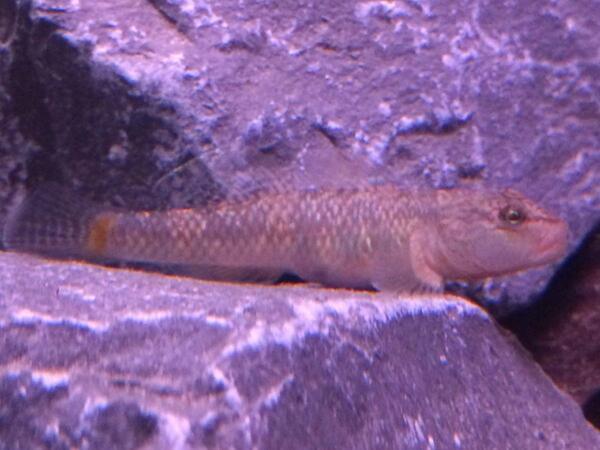 rhinogobius5.jpg