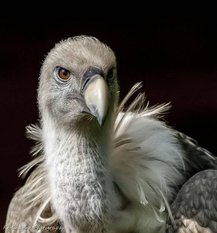 vulture_by_daantigresss-dav1id3.jpg