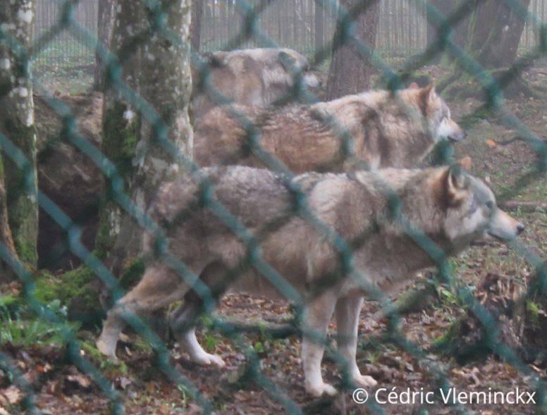 wolven_JPG.jpg